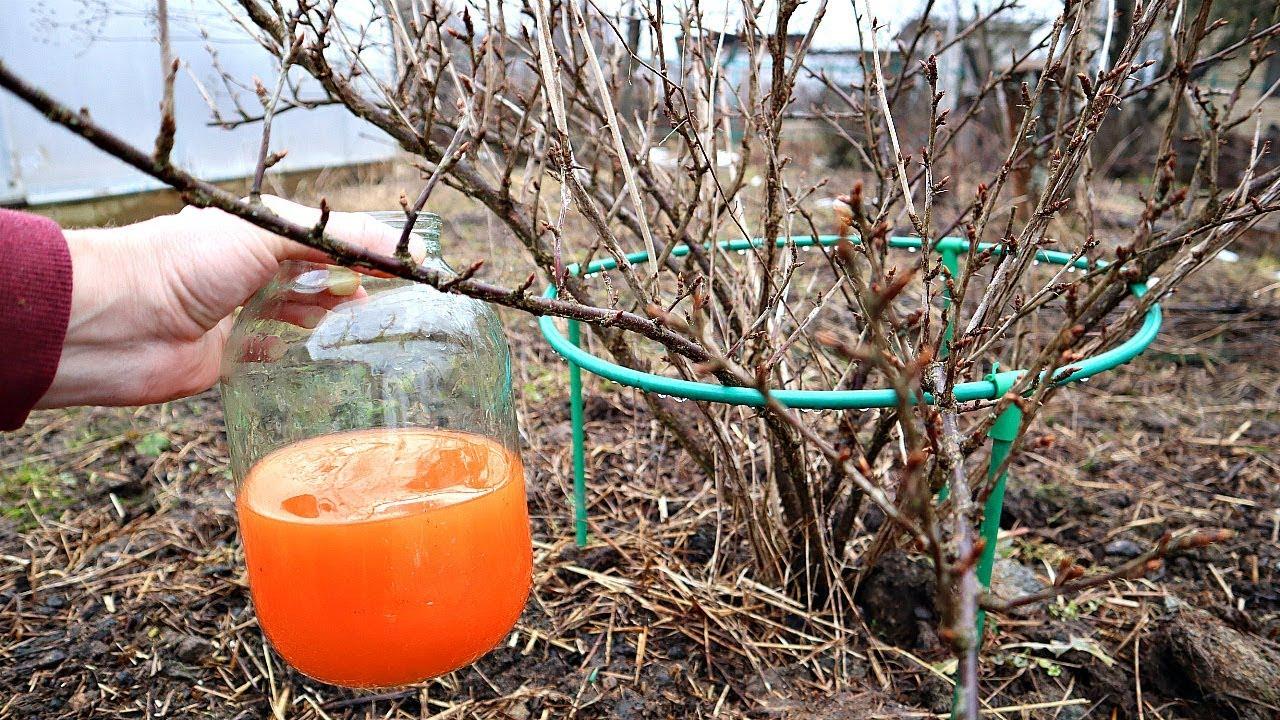 Этот раствор выжигает всех вредителей крыжовника и смородины весной на ура! Обработка крыжовника!