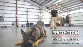 Protection Dogs For Sale- Obedience Trained Home Protection Dogs