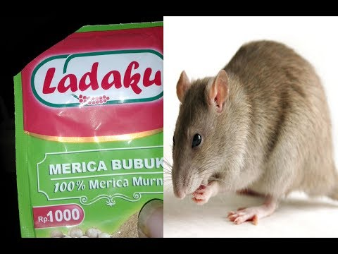 Tips sederhana mengusir tikus dari rumah