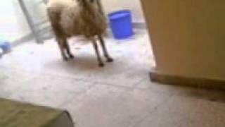 Sheep ai.mp4