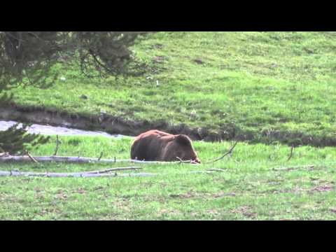 Grizzly at Yellowstone - Extremely close