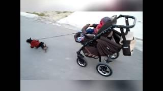 Самая сильная собака в мире