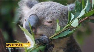 Australia - Cute Koala Bear eating Eucalyptus - Cooberrie Wildlife Park 2013 - Back Pack Australia