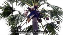 Pathaneer, Pathini (பதநீர்)- Making & Benefits of the Natural Coolant