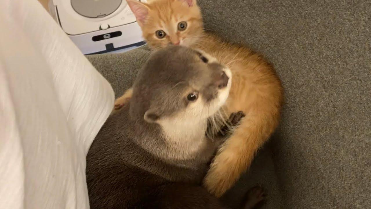カワウソさくら 椅子に座ってる飼い主の背もたれスペースでわざわざじゃれる  Otters playing on the owner's back