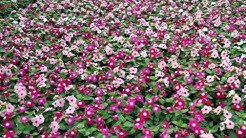 Caring for Annual Vinca