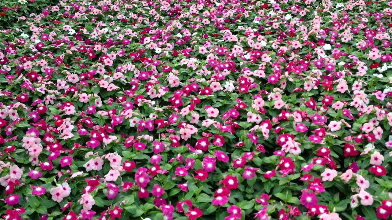 Caring For Annual Vinca Youtube