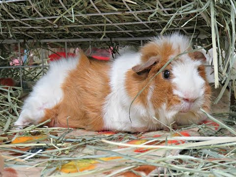 Want Guinea Pigs? Essentials & Must Haves