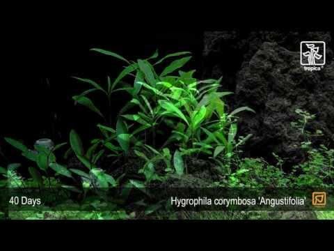 Hygrophila Angustifolia Wiki Hygrophila Angustifolia