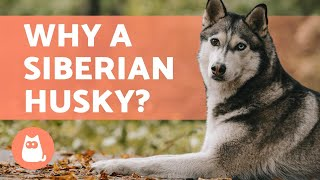 ADVANTAGES of Adopting a SIBERIAN HUSKY 🐺 (Top 5 REASONS)