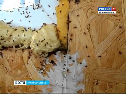Лесные клопы штурмуют жилье новосибирцев