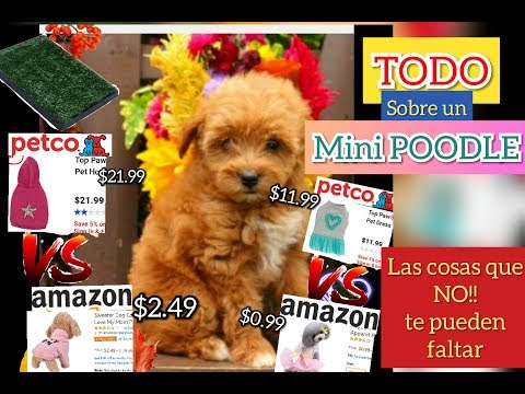 perrito poodle miniatura /  puppy miniature poodle EVERYTHING YOU NEED TO KNOW