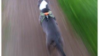 Bluenose pitbull pulling a 205 pound man on a bike up a hill!