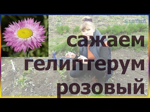 Гелиптерум розовый посадка уход выращивание размножение Как посадить гелиптерум Посадка гелиптерума