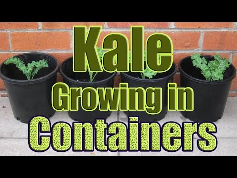 How to Grow Kale in Containers (Growing Kale in Pots Outdoors or Indoors)