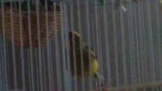 Fife Canary Singing #2