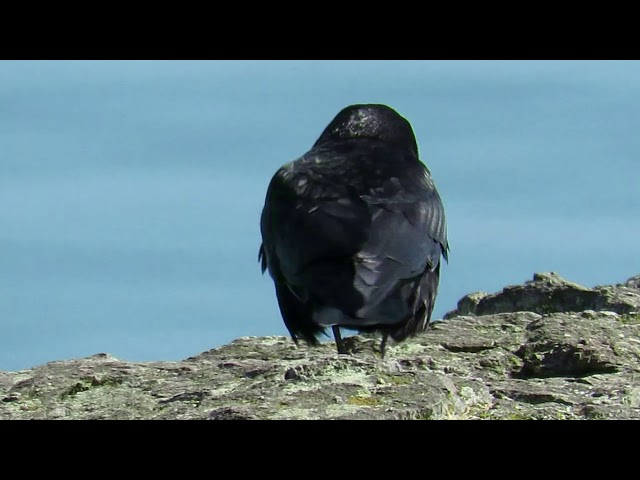 Northwestern Crow - (Corvus caurinus) Moving along the Rocks and Calling from Power Lines