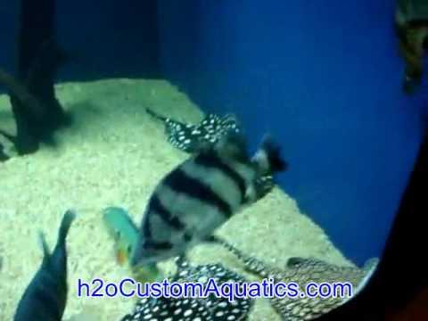 rare aquarium fish airapima arowana stingray datnoid peacock bass gar catfish youtube. Black Bedroom Furniture Sets. Home Design Ideas