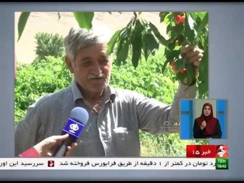 Iran Khondab county, Cherry picking برداشت گيلاس شهرستان خنداب ايران