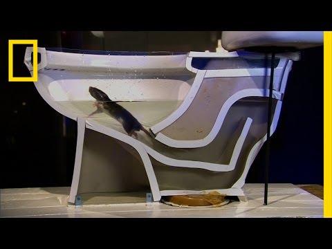 Ratos podem nadar até seu banheiro