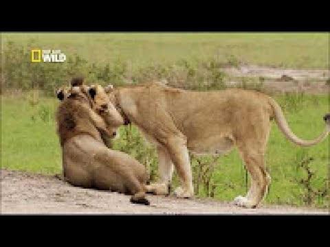 Hd 720 P Le Retour Du Lion Documentaire Animalier 2018 Youtube