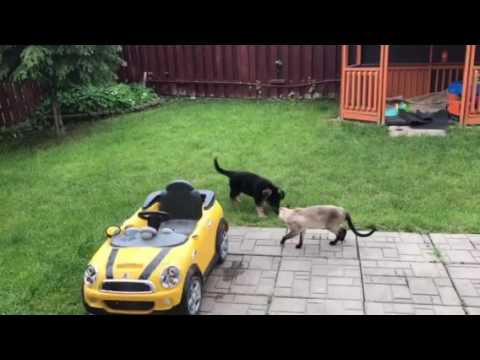 German shepherd vs Siamese cat