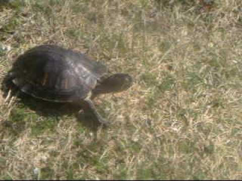Tegan the Turtle