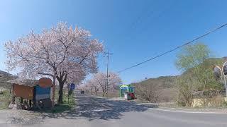 보령 주산 벚꽃길2