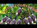 Suara Burung Kutilang Kejepit  Mp3 - Mp4 Download