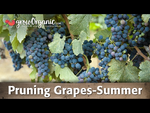 How to Prune Grapes -- Summer
