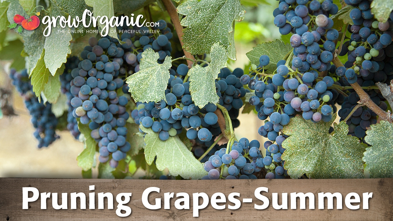 Grapes Spring care: pruning, fertilizing, pest treatment 34