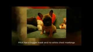 French Bulldog Breeders Puppies For Sale