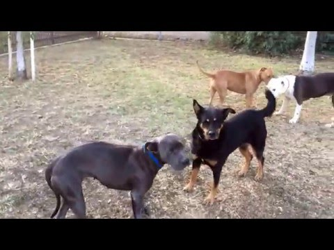 Theresa A1577034 (black & tan Shepherd mix) learning to socialize!