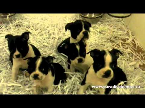 Boston Terrier Find Your Love