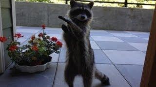 betty raccoon does tricks part 1
