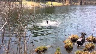 German Short Haired Pointer First Time Swimming