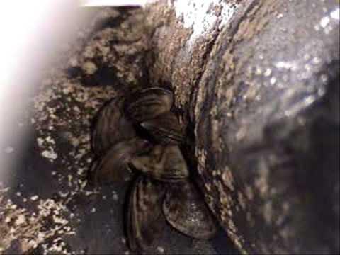 Zebra Mussels Infestation