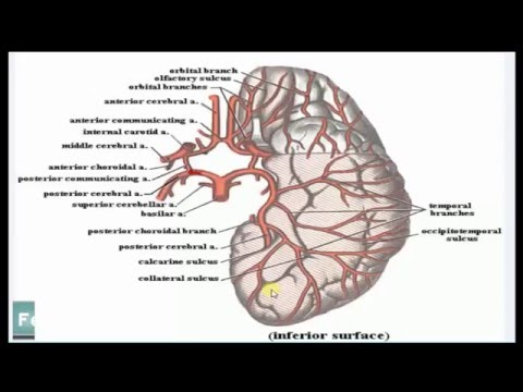 Ventricular system and blood supply to the brain