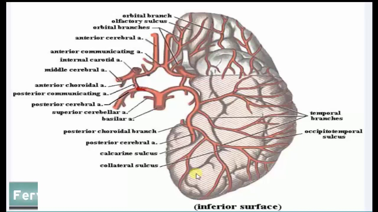 Ventricular system and blood supply to the brain - YouTube