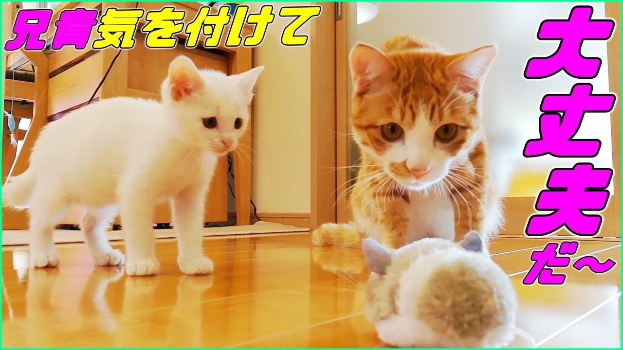 [保護子猫]ほっこり♡仲良くオモチャで遊ぶ兄弟子猫達♡(赤ちゃん猫)