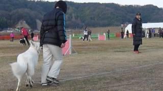 H26年1月26日JKC中国ブロック競技会で ホワイトスイスシェパー...