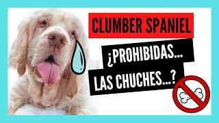 CLUMBER SPANIEL: un SPANIEL DIFERENTE   5 Datos y 10 Curiosidades que quizá no conozcas