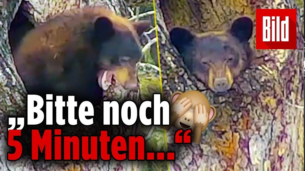 Süßes Tiervideo aufgetaucht: Dieser Bär will nach Winterschlaf ...