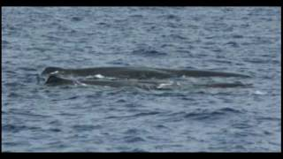 Sperm Whale Encounters of the Very Close Kind - Part One
