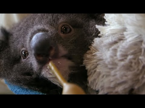 Orphan Koala Plays With Carer | BBC Earth