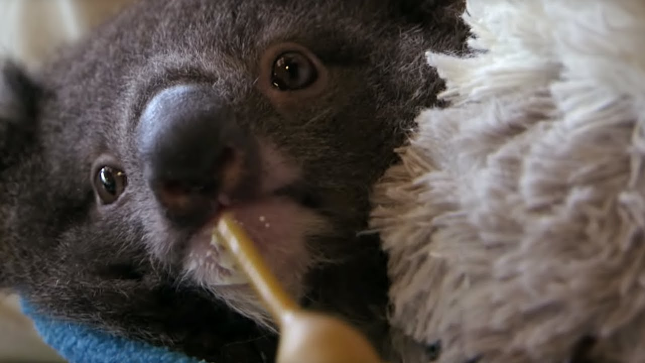 Orphan Koala Plays With Carer | Nature's Miracle Orphans | BBC Earth