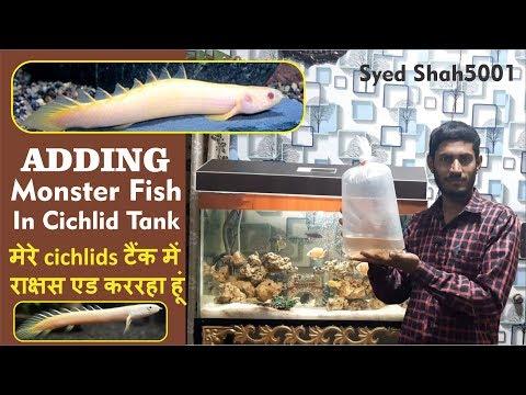 Adding Dragon Fish To Tank - Senegal Bichir Fish अज़ टैंक में सेनेगल ड्रैगन मछली खरीदा