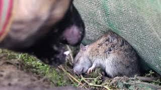 農村小哥捉到了一隻老鼠,狗狗一口咬下去,這隻老鼠瞬間斃命 【石头记事】