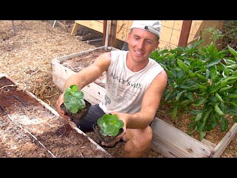 Growing Caper Plants in my Arizona Garden - Capers!