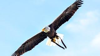 Challenger Flies at Oregon Ducks Football Game